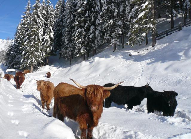 Hochlandrinder im Winter
